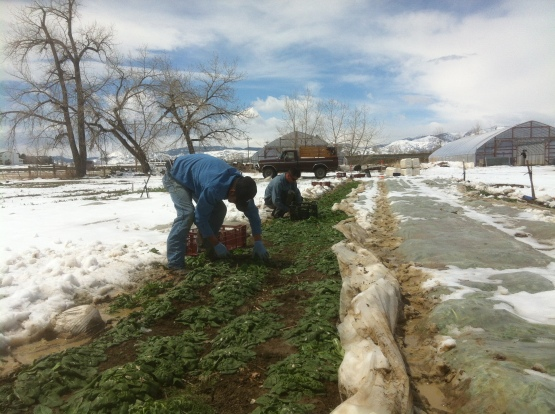 Harvesting spinach through snow is a cold, wet, messy job.