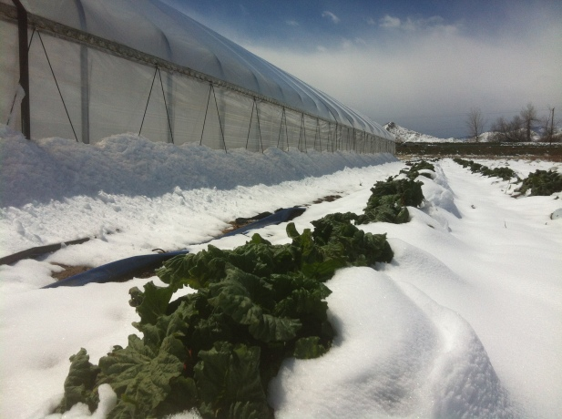 Rhubarb plants peaking though the snow.