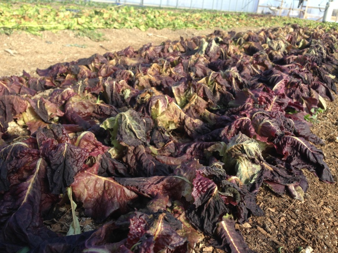 Frozen Red Lettuce