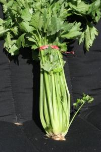 Celery