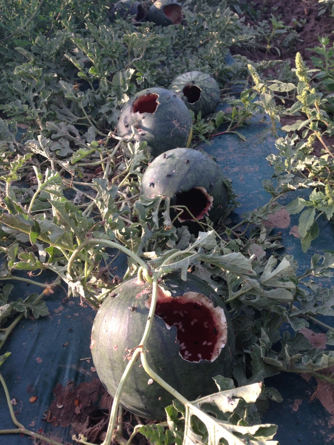 Watermelons eaten by racoons