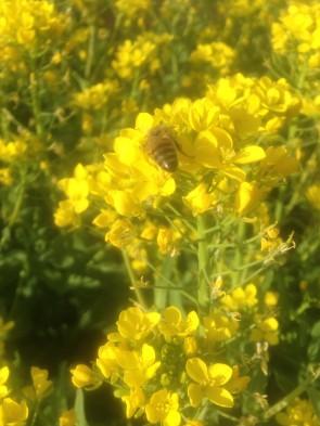 Honeybee on flowering turnips