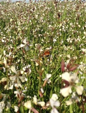 Bumble bee on arugula flowers