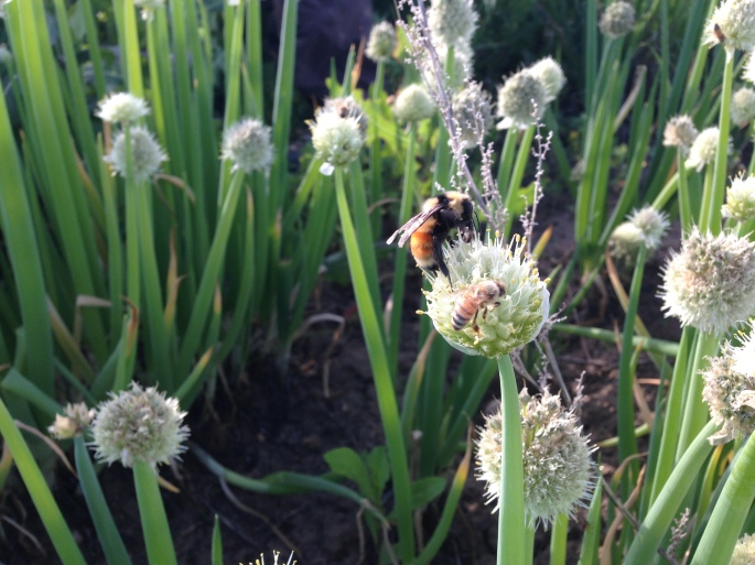 Bumble bee and honeybee on onion flower