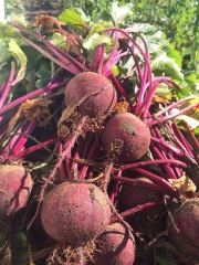 Beets fresh from the field