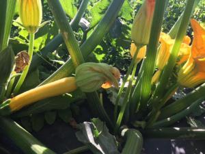 Zuncchini Plant
