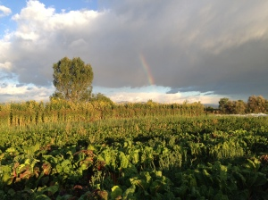 Rainbow over Sunchokes