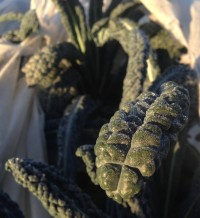 Early Morning Frosty Tuscan Kale