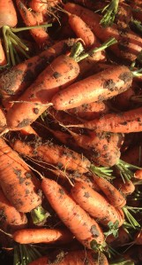 Fresh Heirloom Carrots