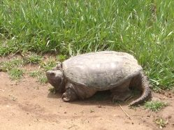 Farm Friend, Snapping Turtle is ready for the season!