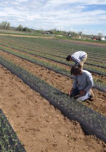 Farm Crew tending to onions