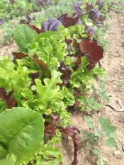 Yummy lettuce headed your way