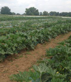 Zucchini crop