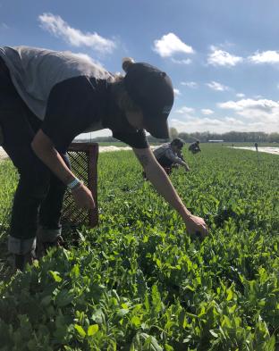 picking pea shoots